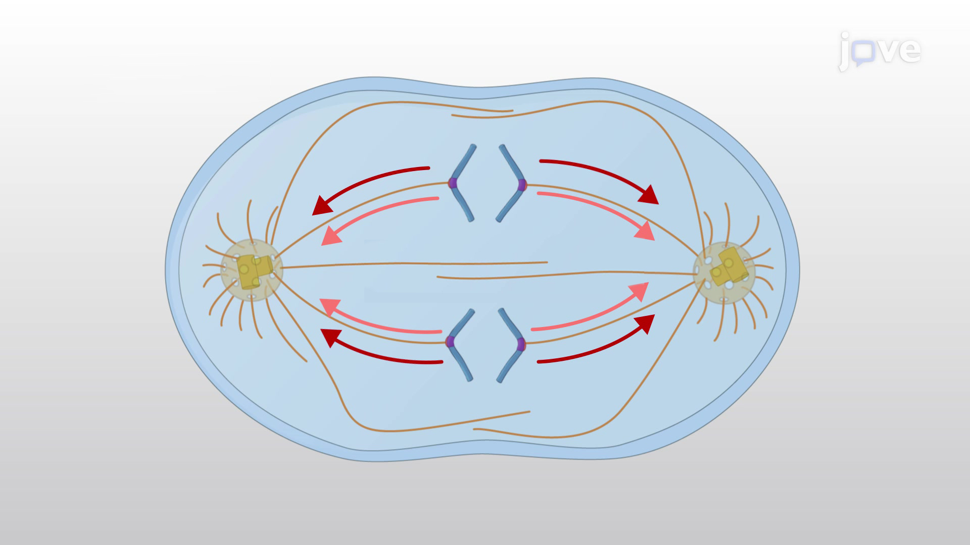 Anaphase A and B