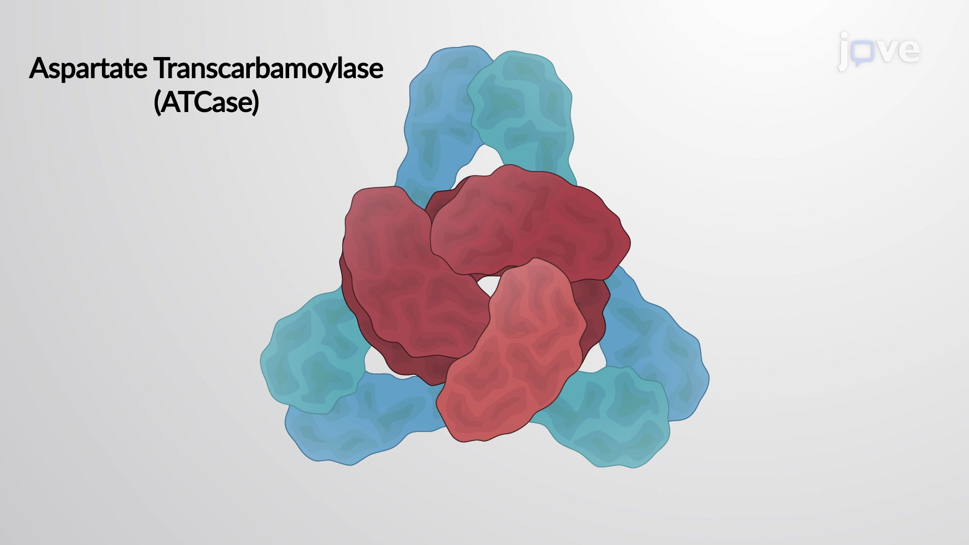 Allosteric Proteins-ATCase