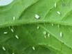 Overførsel plantevirus Brug Whiteflies