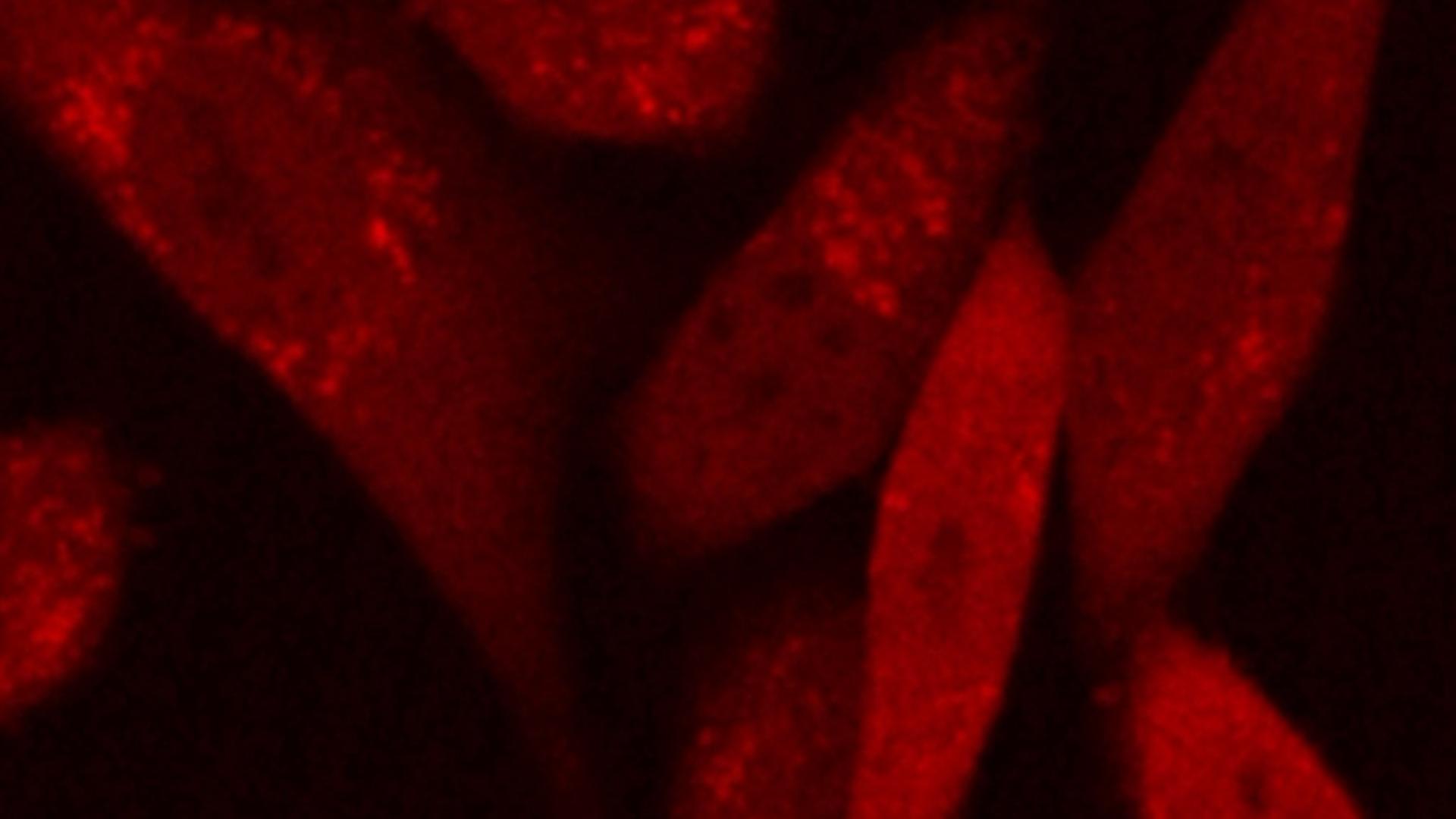 Synthesis, Cellular Delivery and <em>In vivo</em> Application of Dendrimer-based pH Sensors
