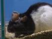 Generere akutte og kroniske eksperimentelle modeller av motorisk tic uttrykk hos rotter
